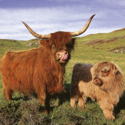 Highland Cows (Don't Worry I am Vegetarian!) Drinks Coaster